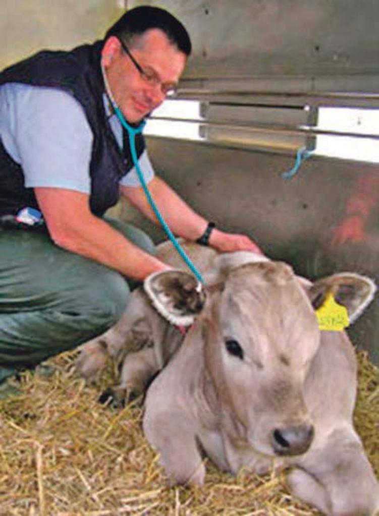 Болезни коров после отела их симптомы и лечение