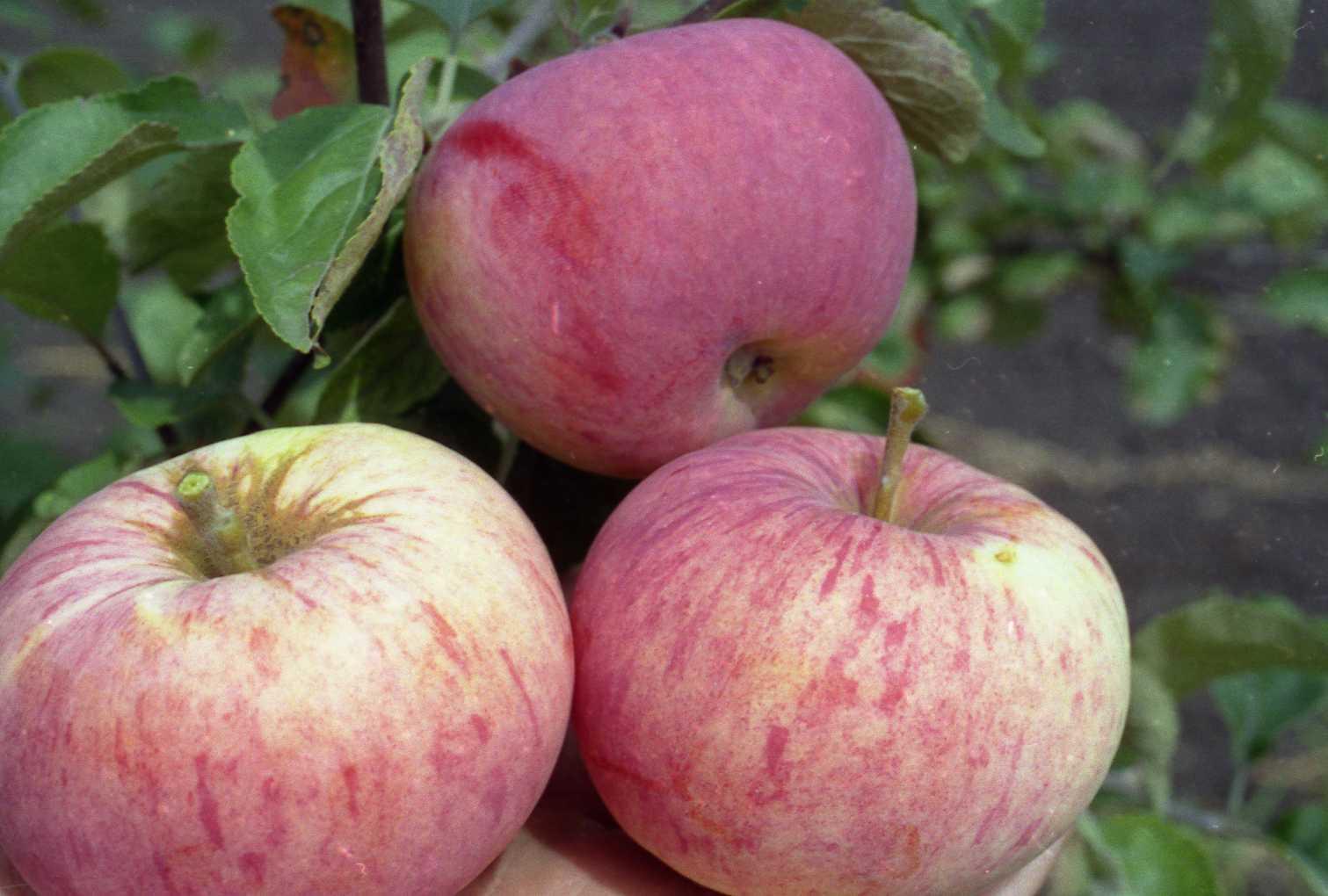 Яблоня жигулевская: описание сорта и его фото, как правильно посадить и ухаживать