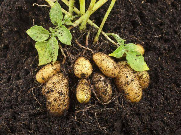 Характеристика картофеля скарб