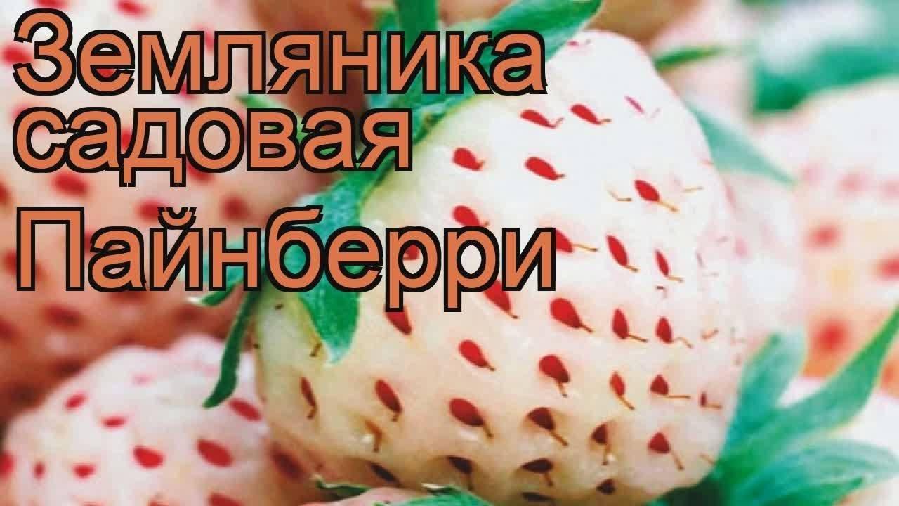 Особенности посадки и ухода за сортом клубники ананасная