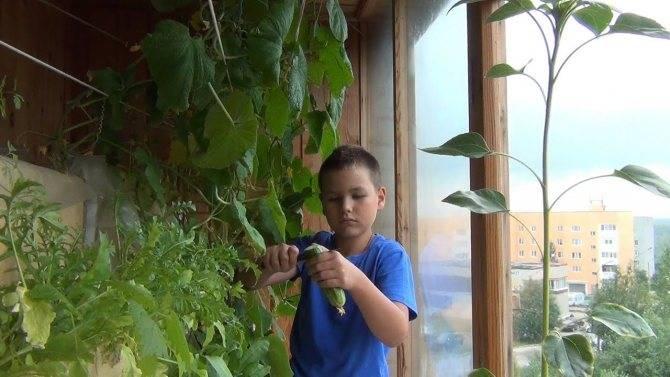 Огурец «балконный f1» – выращивание на окне своими руками