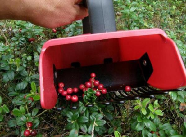 Комбайн для клюквы своими руками. как применяется комбайн для брусники и как сделать его своими руками комбайн для сбора ягод чертежи с размерами