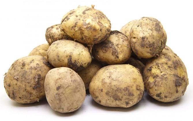 Картофель голландской селекции ривьера
