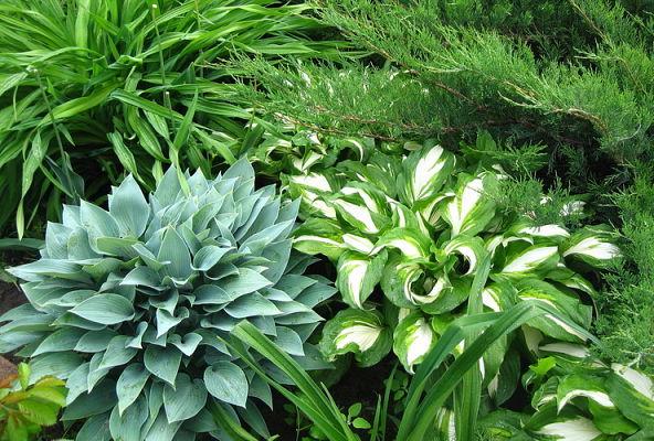 Особенности выращивания и размножения хосты: посадка и уход в открытом грунте
