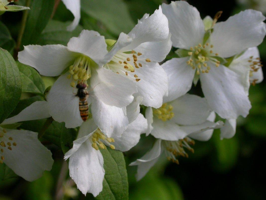 Чубушник 'mont blanc' — википедия переиздание // wiki 2