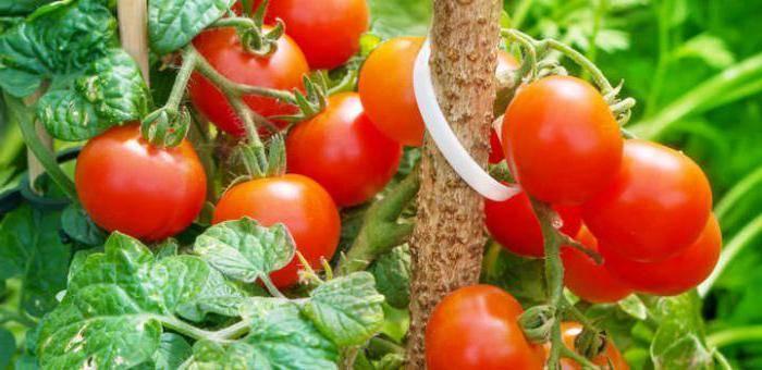 Подкормка дрожжами - помидоры и огурцы в открытом грунте, теплице и парнике: лучшие рецепты, отзывы