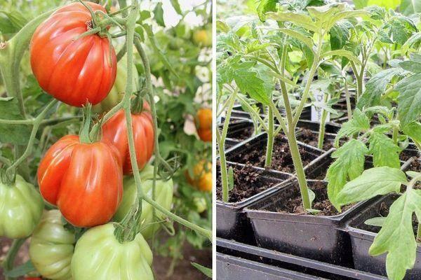 Характеристика сорта томата мелодия f1 и его урожайность