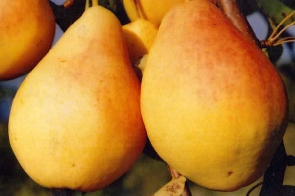 Груши дюшес: описание сорта и всех характеристик, фото плодов, разновидности - зимний, летний, московский