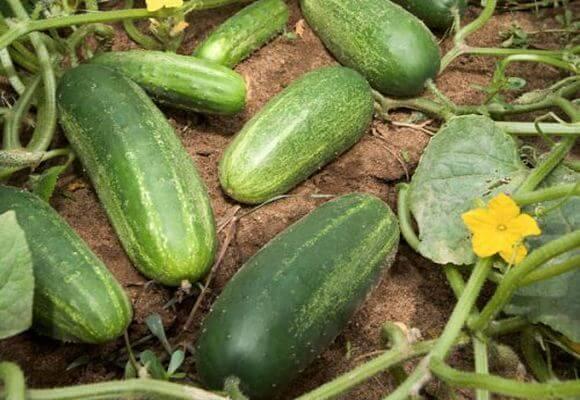 Самые лучшие сорта поздних огурцов для теплиц и огорода