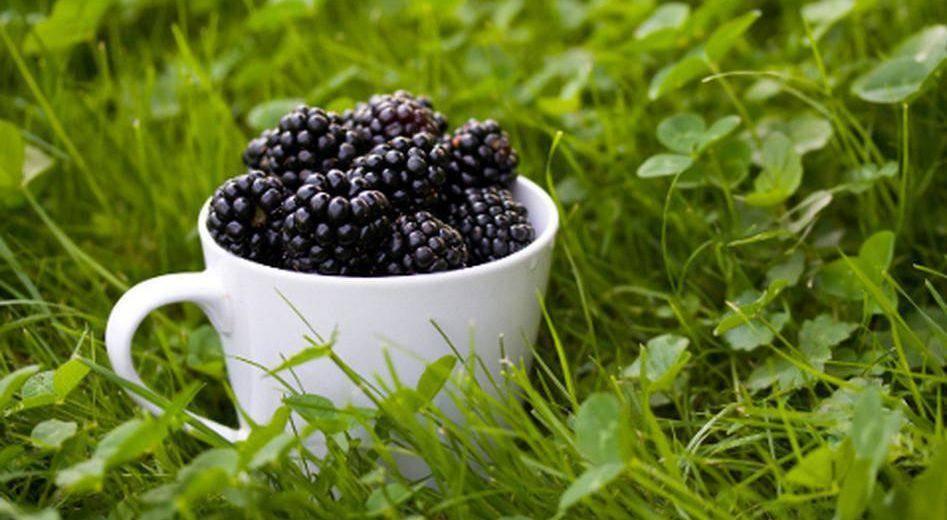 Ежевика джамбо — описание сорта, характеристика, выращивание, фото и отзывы