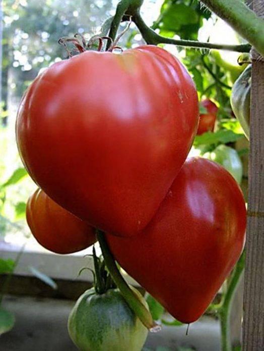 Выращивание томата мясистый сахаристый