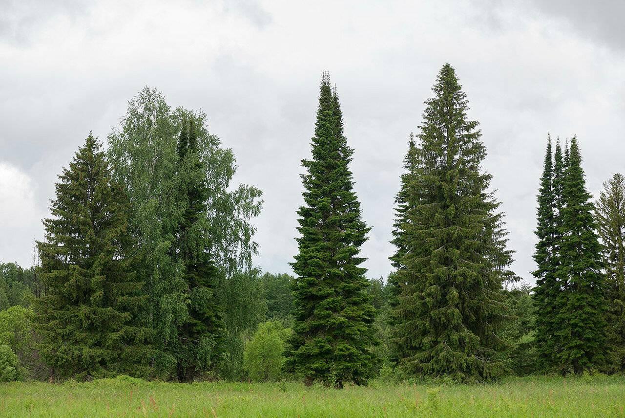 Чем отличается пихта от ели? 25 фото основные отличия. как отличить деревья в природной зоне? какое дерево лучше? что быстрее растет?