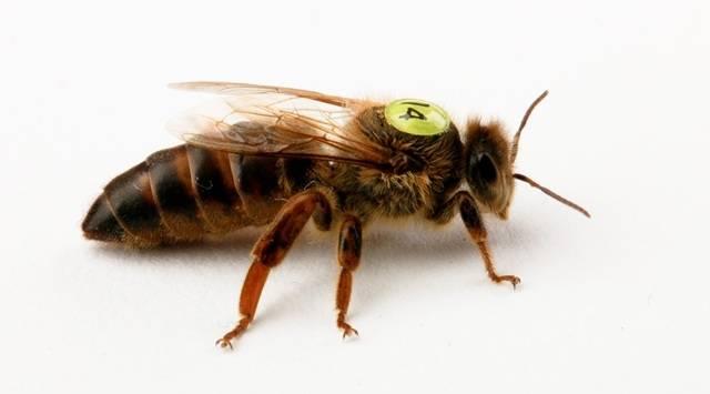 Линии бакфаст — пчелы — каталог файлов
