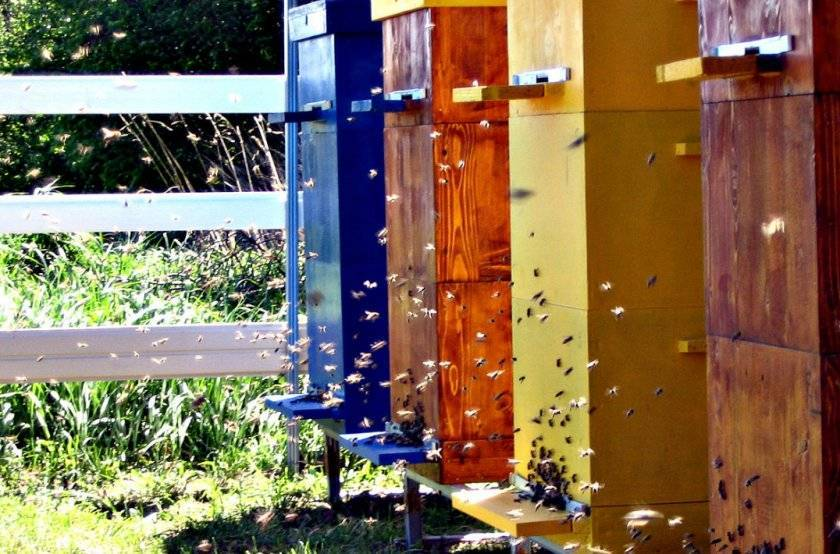 Как правильно сделать отводок пчел в августе, августовские отводки пчел