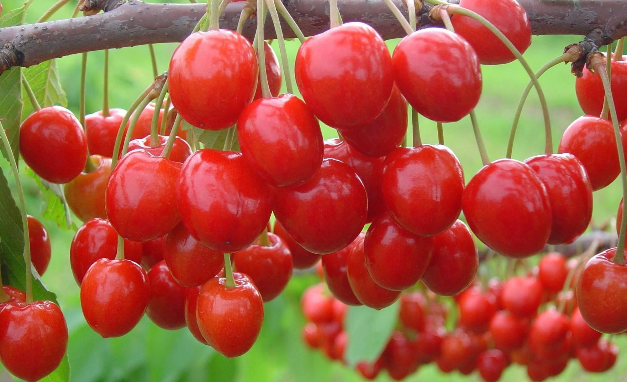 Мелитопольская черешня — википедия. что такое мелитопольская черешня