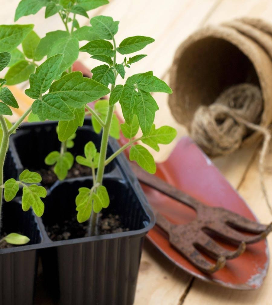 При какой температуре выращивать рассаду помидор