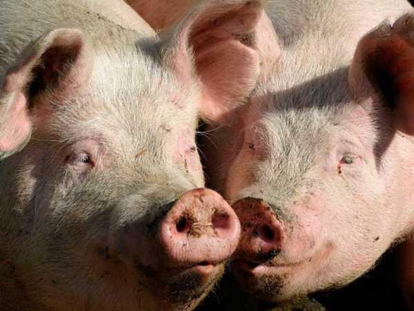 Как определить покрылась свинья или нет в домашних условиях