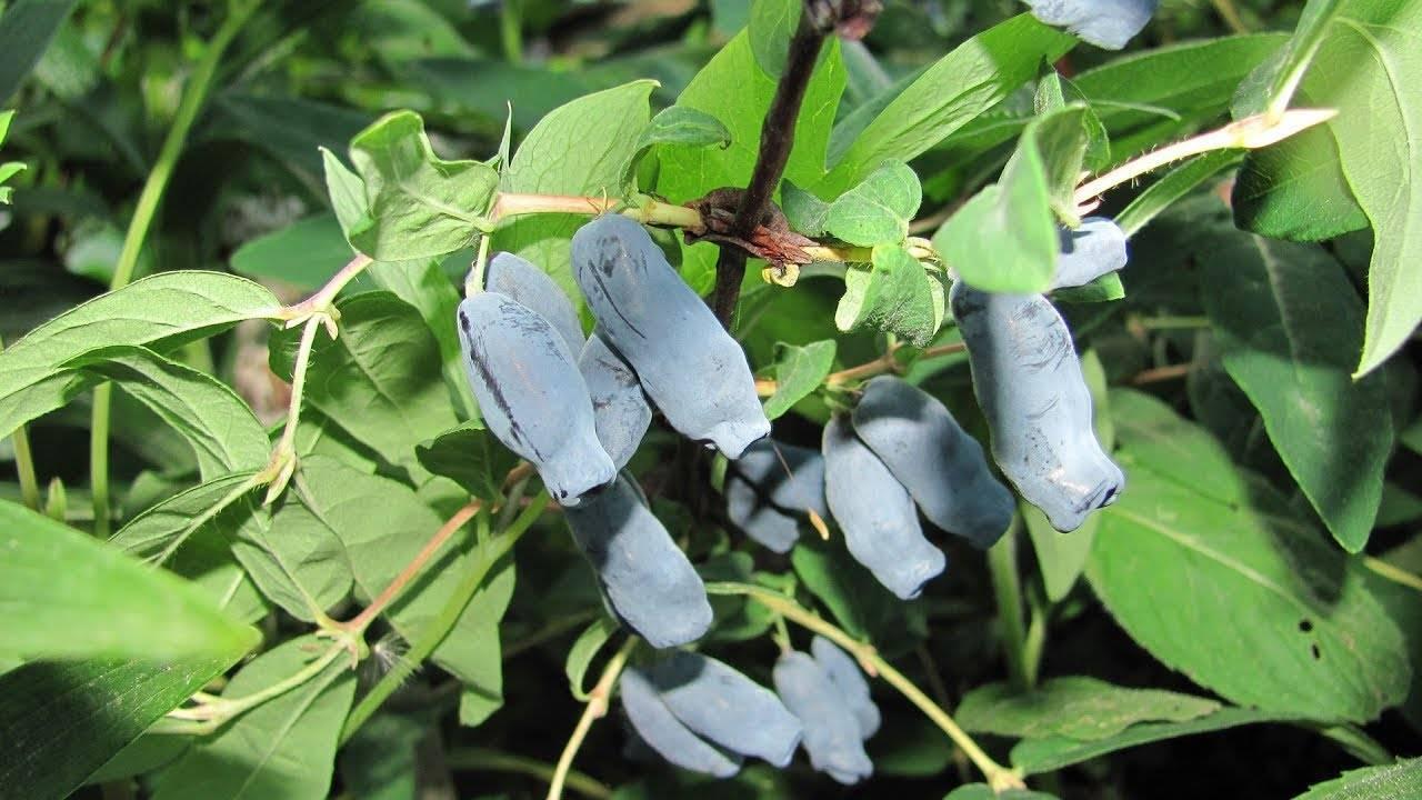 Почему сохнут и чернеют кончики листьев у спатифиллума?