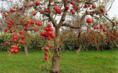 Яблоня осенняя бельфлер китайка: описание сорта