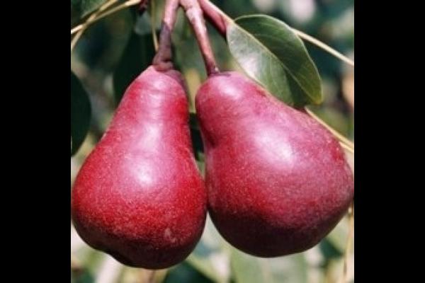 Сорт яблони старкримсон: характеристика и особенности выращивания