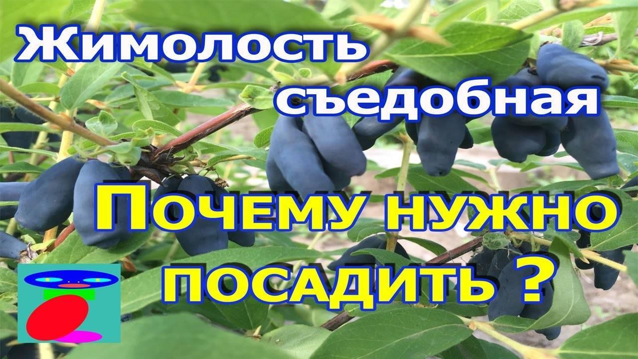 Жимолость: посадка и уход, фото, описание, размножение, сорта и лечебные свойства