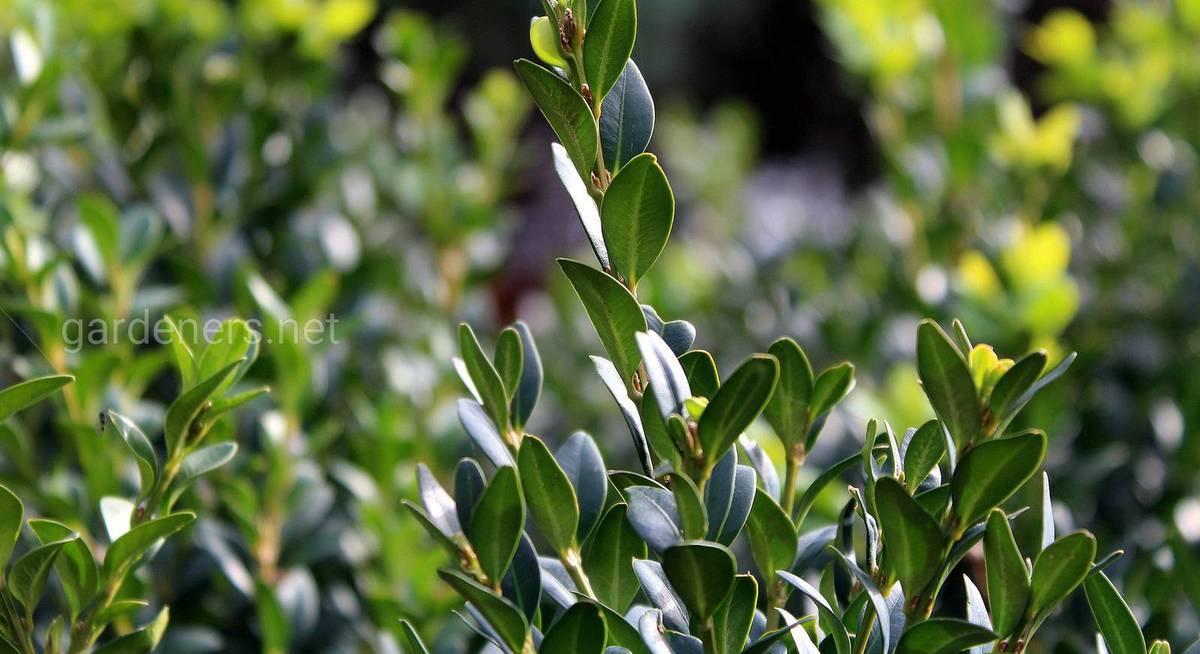 Ясень: фото дерева и листьев, описание, разновидности и интересные факты