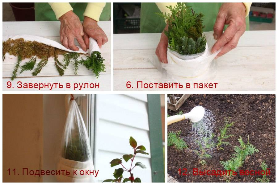 Размножение сосны: как вырастить сосну из ветки? как размножается дерево в природе и в домашних условиях? как укоренить черенок?