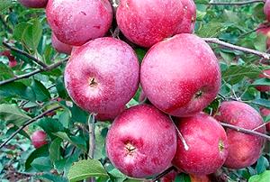 Сорт яблони подарок графскому: фото и описание
