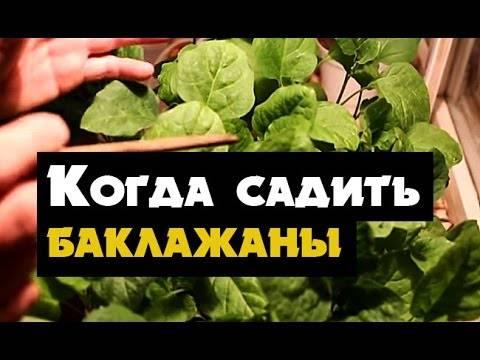 Баклажаны: выращивание на урале