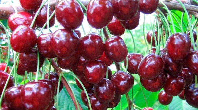 Черешня речица — описание сорта, фото, отзывы садоводов