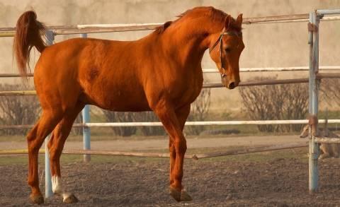 Обзор буденновской породы лошадей