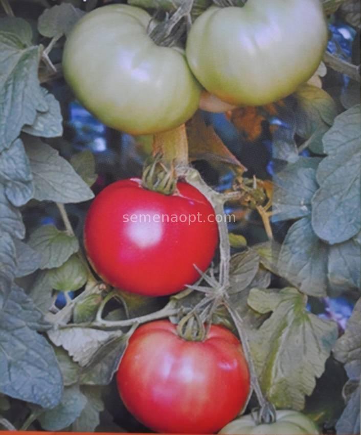 Описание сорта томата алый фрегат f1, его характеристика и урожайность
