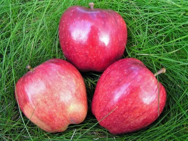 Сорт яблони ред делишес