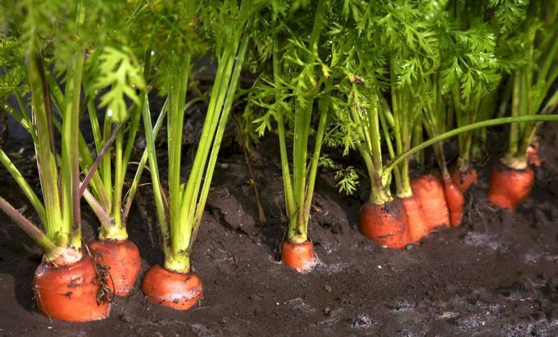 Как посадить морковь на семена: как самостоятельно вырастить корнеплоды, чтобы получить свой посевной материал, также как собрать хорошие семечки и когда это делать?