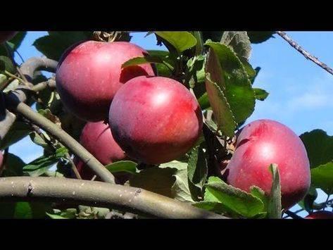 Яблоня пепин шафранный: описание сорта, достоинства и недостатки, лучшие опылители, характеристика плодов, правила посадки, особенности ухода
