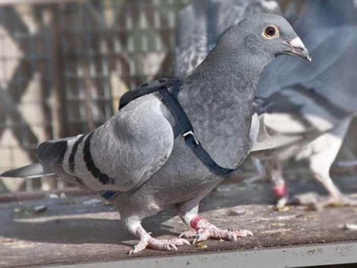 Почтовые голуби: особенности и виды, выращивание и дрессировка