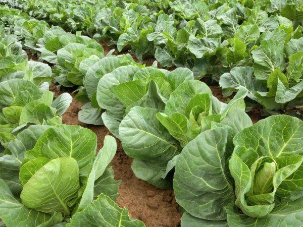 Капуста агрессор f1: описание сорта, фото, отзывы тех, кто сажал, урожайность, видео
