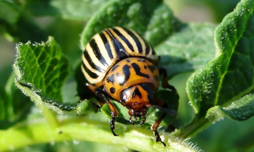 Как бороться с колорадским жуком на картофеле
