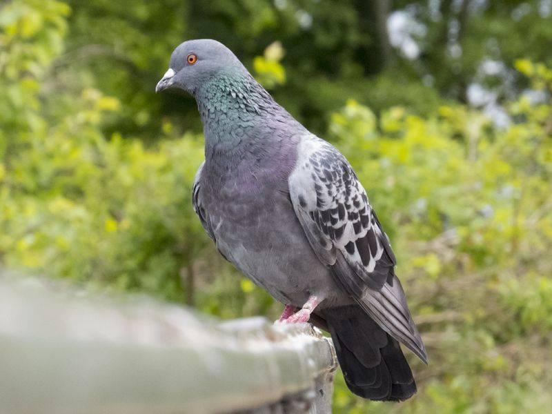Голубь — весь образ жизни и среда обитания голубя, интересные факты, фото, видео, повадки + рацион питания, виды голубей
