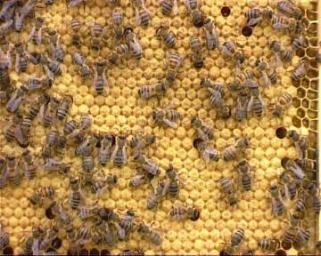 Семьи - трутовки и способы их исправления   практическое пчеловодство