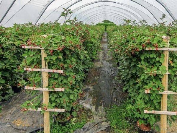 Способы подвязки садовой ежевики: описание