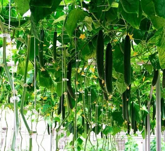 Подкормка огурцов: чем и как удобрять