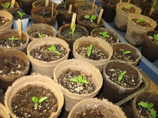 Рассада огурцов в торфяных горшочках – заявка на ранний урожай