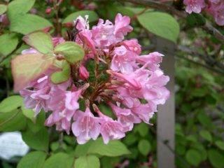 Вейгела цветущая Блэк Минор (Minor Black): посадка и уход