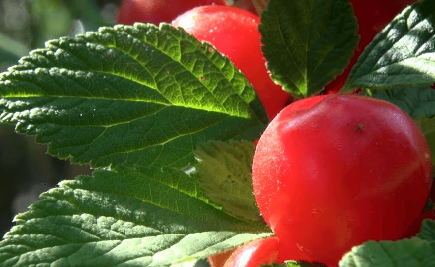 Вишня войлочная натали — описание сорта, фото, отзывы садоводов