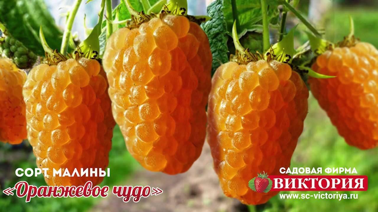 Малина сорт оранжевое чудо: описание, фото, отзывы