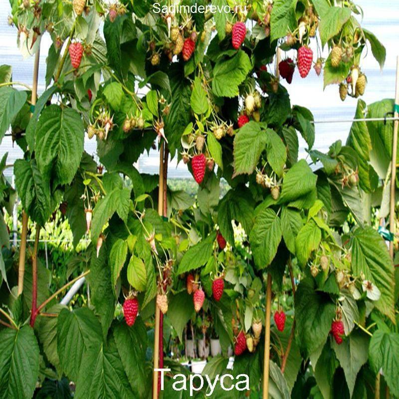 Правильный уход и выращивание малинового дерева таруса