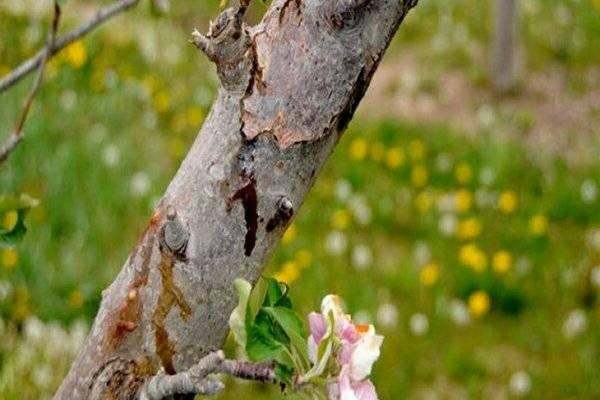 Что делать, если трескается кора на яблоне: причины и методы лечения