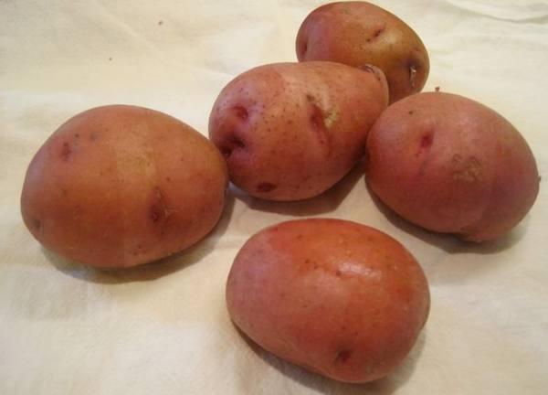 Картофель лада — описание сорта, фото, отзывы, посадка и уход
