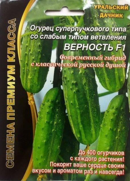 Превосходный урожай до сильных морозов — огурец салтан f1: полное описание сорта